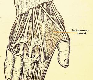 Primer interoseo dorsal Rizartrosis