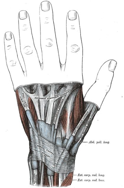 Músculos mano muñeca