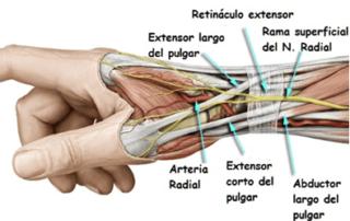 músculos y tendones del pulgar en el carpo